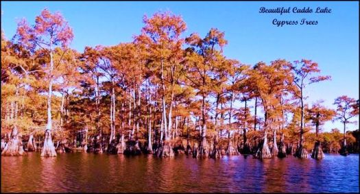 Beautiful Caddo Lake Cypress Trees