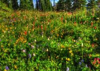 Mt Ranier flowers