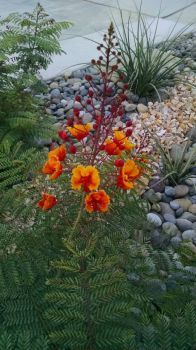 Mexican Bird of paradise blooming