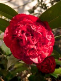 Professor Sargent Camellia
