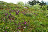 Květy kosatců