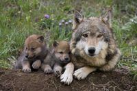 4  ~  'Family portrait'  ~  Grey Wolf.