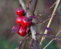 Berries of some sort