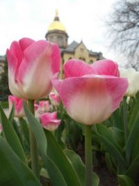 Tulips at Notre Dame
