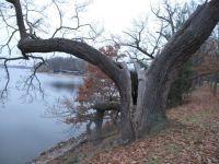 Old oak on the damm of Bezdrev fishpond