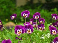 large_Funny_Flower_Cornflower_83230