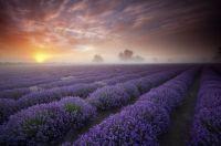 Lavender-sunrise