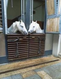 img217Lippizaner Stallions at home.