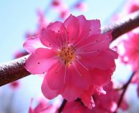 Weeping Peach Blossom