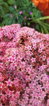 Bee on a sedum plant.