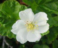 Clodberrie flower