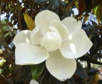 A Southern USA Magnolia for Andie