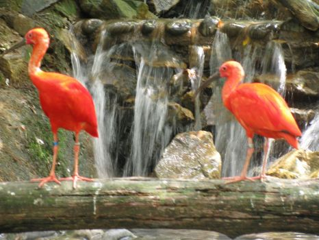 Coloured Ibis
