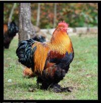 Partridge Cochin Bantam Rooster