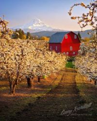 Red Barn and Pear Orchard