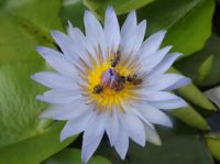 Bees on a Water Lily