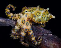 greater-blue-ringed-octopus-malapascua-island-philippines