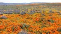 Antelope Valley Wildflowers
