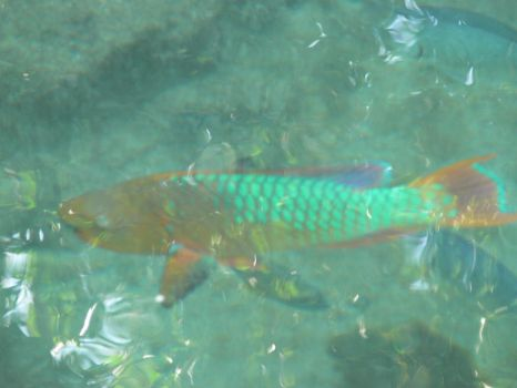 Rainbow Parrotfish cruising today.