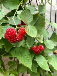 Raspberries from my garden this year . .