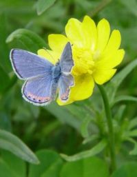 Butterfly On Buttercup Flower♥