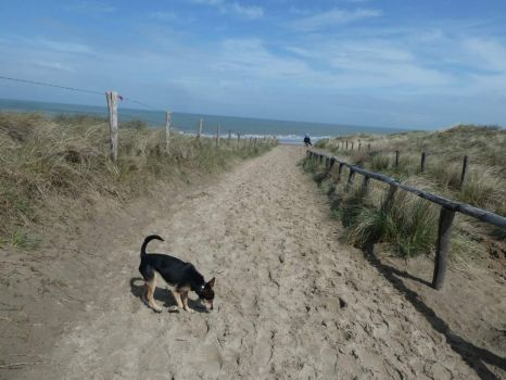 To reach the 'dogs off leash beach' I had to walk through the dunes for more than  1 1/2 kilometer, then climb up a steep dune and... scramble down the deep dune to the beach