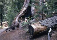 Sequoia Natl Park 1970