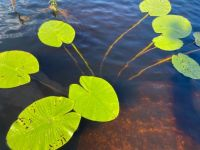 Water lily leafs