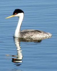 Western Grebe, Lake Hodges, San Diego, California