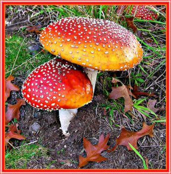 Fairy Toadstools.