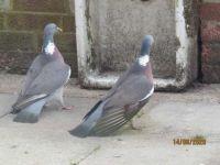 Duelling Wood Pigeons