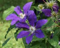 Clematis in the garden of an historic site