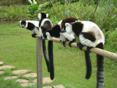 Lemurs on a fence