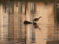 Egyptian geese in Johannesburg