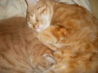 is there one cat or two.     one may think they are joined at the hip,   angas & Misty, my precious boys