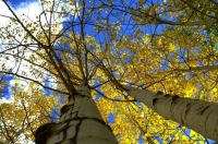 Quaking aspens in the fall