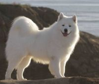 Same Samoyed Grown Up