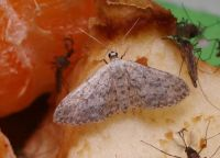 Small dusty wave moth - Idaea seriata (Paardenbloemspanner)