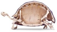 Cross section of a Turtle
