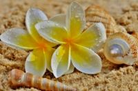 Plumeria And Seashells