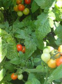 Getting ripe