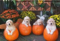 Pumpkin Dogs