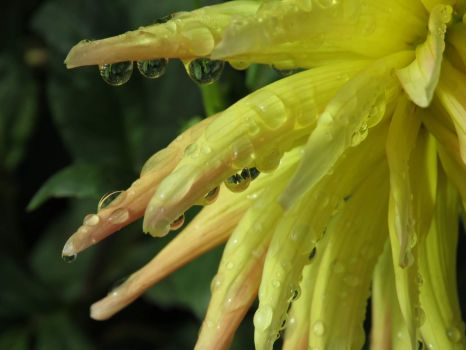 Raindrops on Dahlia