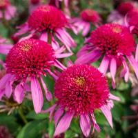 double scoop coneflower pink