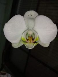 John's Orchid