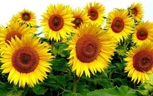 sunflowers-flowers-plants-yellow-flowers-wallpaper-preview