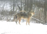 Canadian Red Wolf in Vermont