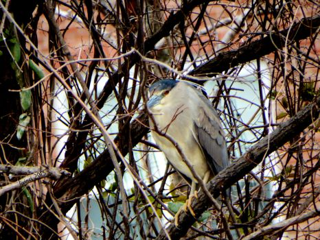 Adult breeding Black-crowned Night Heron
