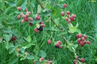 the blackberries are ripening
