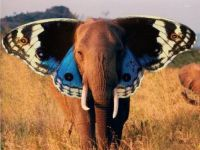 Is is a butterphant or a elefly?